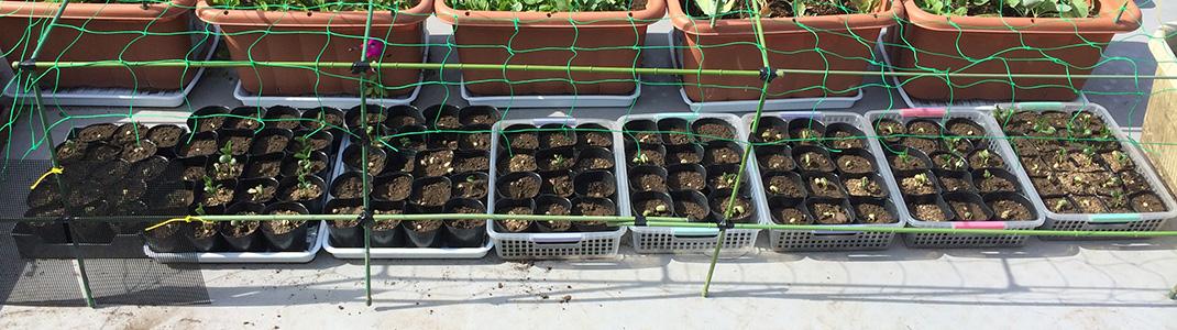 枝豆の芽が出始めました。 日に日に大きくなります。 (5月18日)
